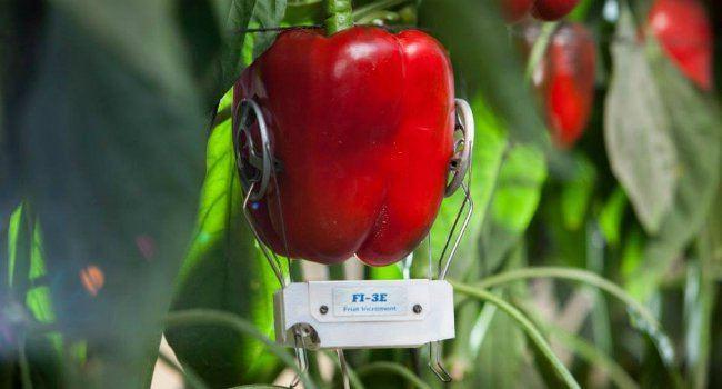Phytech Pepper Sensing