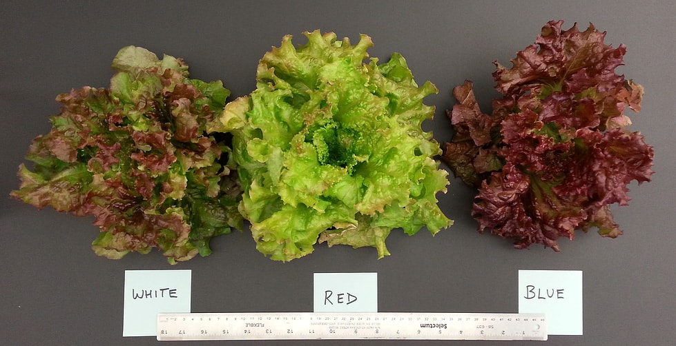 Lettuce Color