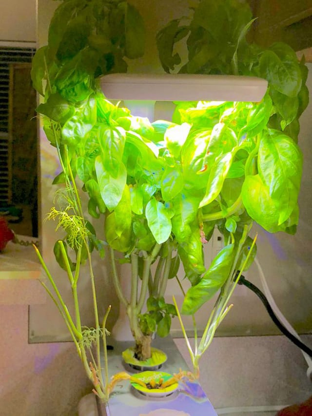 Click and Grow Basil