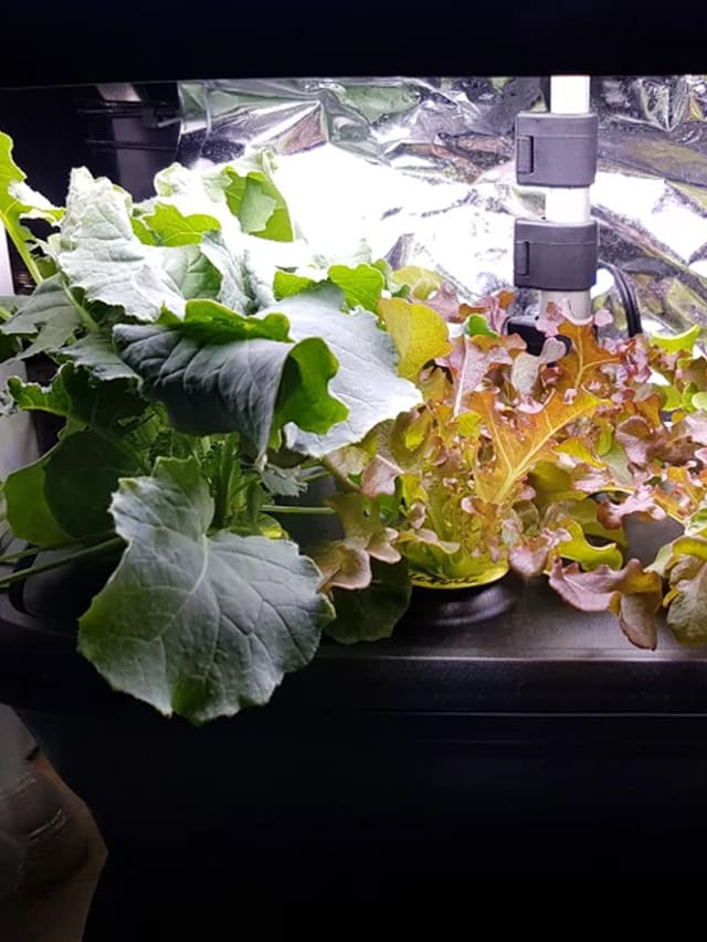 Aerogarden Kale and Lettuce